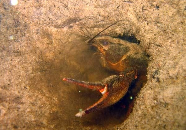 рак в песчаной норке